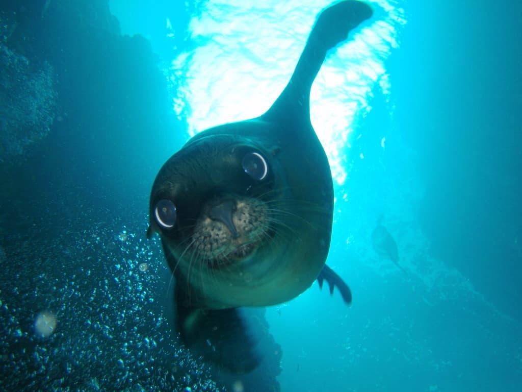 LaPaz sea lion
