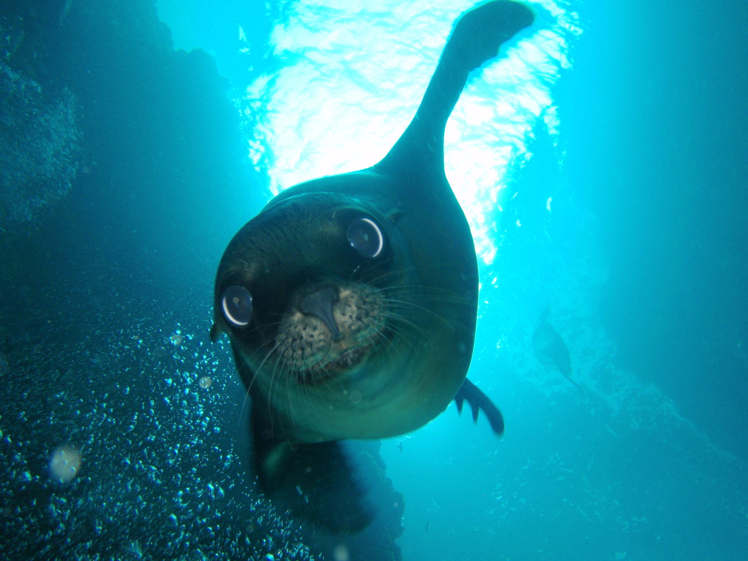 LaPaz sea lion