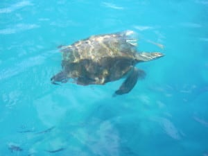 Snorkeling with giant sea turtles