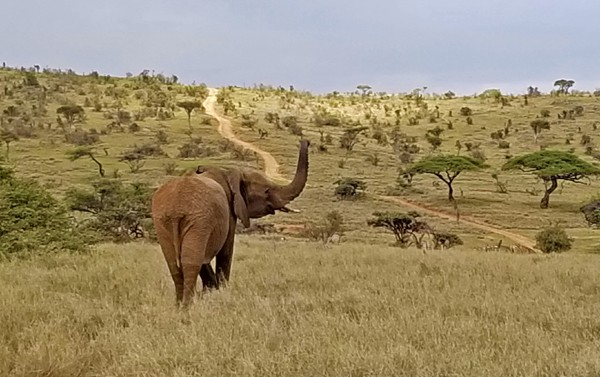 elephant at lewa