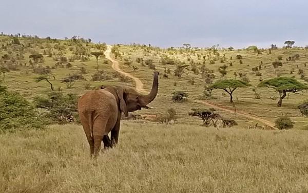 elephant at lewa