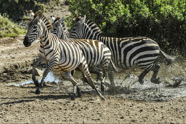 zebras during game drive