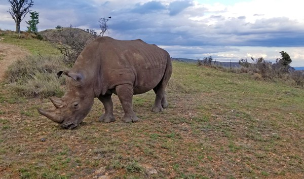 white rhino at lewa