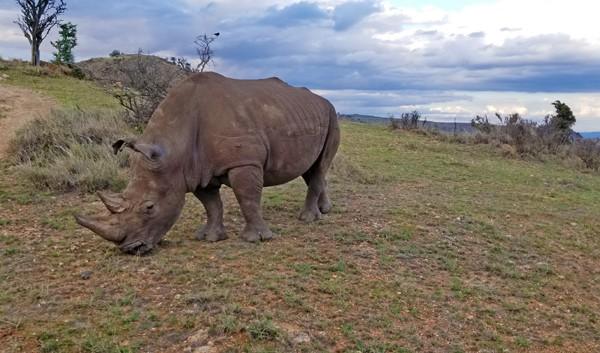 white rhino at lewa