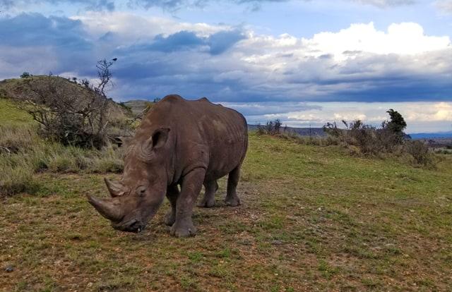 White rhino at Lewa Conservancy